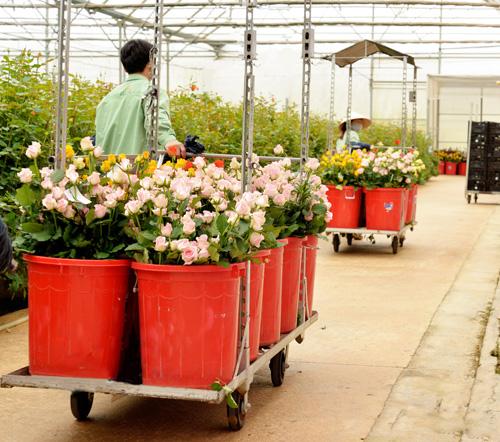Quy trình trồng hoa hồng Dalat Hasfarm theo công nghệ hiện đại