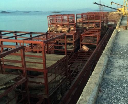 Gần bảy tấn lợn chết cập cảng ở Quảng Ninh