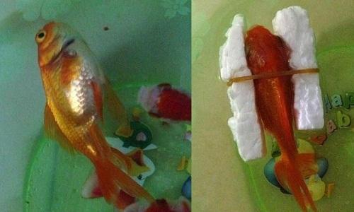 Cách cứu cá bơi ngửa.
