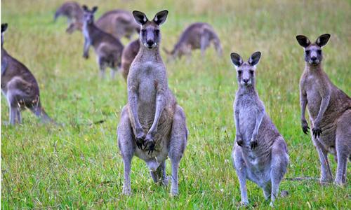 australia-keu-goi-nguoi-dan-an-thit-kangaroo