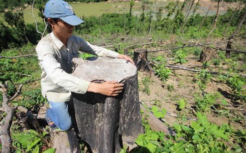 Rừng phòng hộ bị 'xẻ thịt' để trồng keo ở Quảng Nam