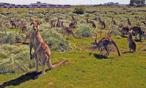 no-luc-ngan-can-chuong-trinh-diet-tru-kangaroo-o-australia
