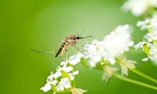 Có thể bạn 10 điều thú vị về loài muỗi