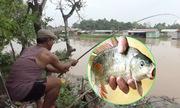 Cao thủ giật cùng lúc 4 cần câu cá chép trên sông Đồng Nai
