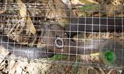 Bẫy rắn hổ mang trong rừng bằng một con cóc
