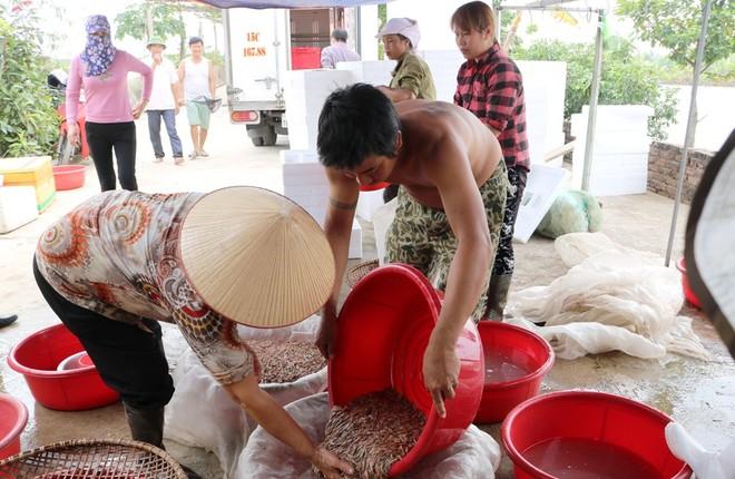 """Mùa thu hoạch """"lộc trời"""" của nông dân Hải Phòng"""