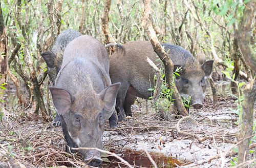 Nuôi hàng trăm con lợn rừng trên đất cát ven biển