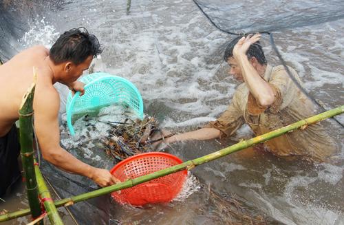 Mô hình nuôi tôm càng xanh xen canh trên ruộng lúa đang nhân rộng ở Cà Mau. Ảnh: Phúc Hưng.