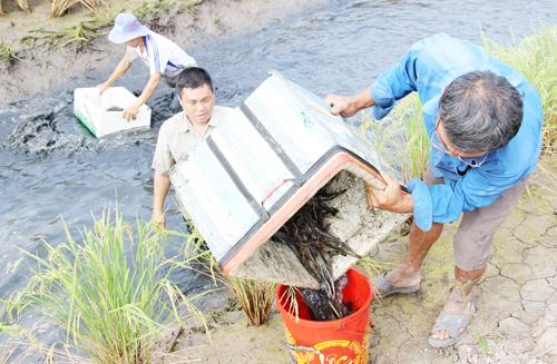 Nông dân dùng thùng xốp khuấy nước cho đục để tôm nổi đầu lên mép ruộng. Ảnh: Phúc Hưng.