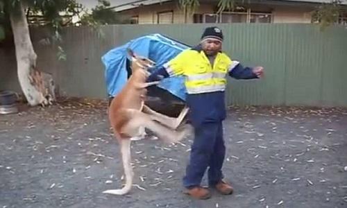 kangaroo-giao-chien-voi-nguoi-dan-ong-tren-duong-pho-australia