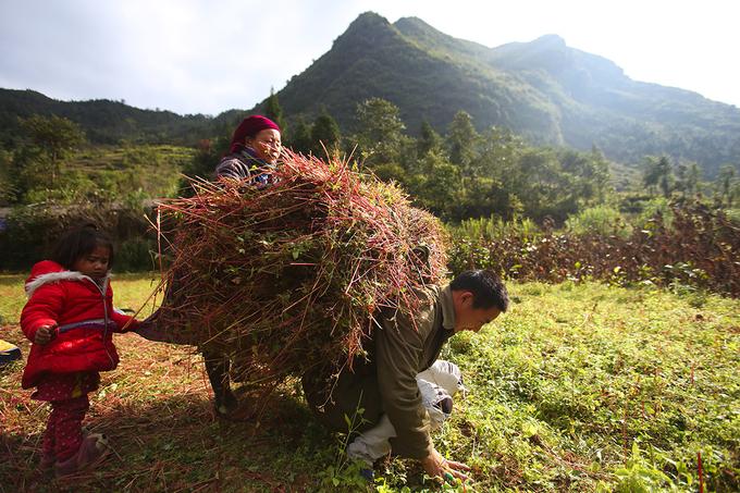 Người Mông thu hoạch tam giác mạch