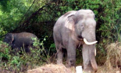 Đàn voi rừng ra rẫy phá nát hoa màu ở Đồng Nai