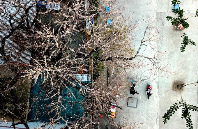 Cây sộp trăm tuổi trổ trái chi chít ở Sài Gòn