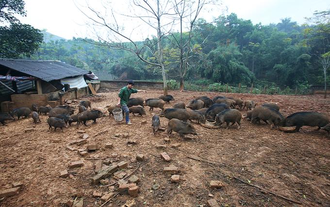 Chàng trai nuôi và huấn luyện đàn lợn rừng