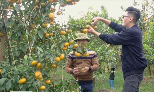 Bí quyết trồng cam canh ngọt, mọng nước ở Quảng Ninh