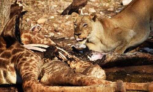 Sư tử cái chột mắt canh xác hươu cao cổ. Ảnh: Sam Hankss.