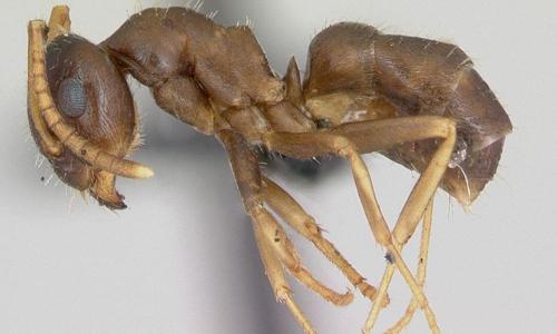 KiếnLasius neglectus tiêu diệt đồng loại để ngăn chặn dịch bệnh. Ảnh: UPI.