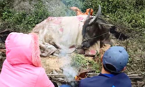 Cả trăm gia súc chết vì giá rét