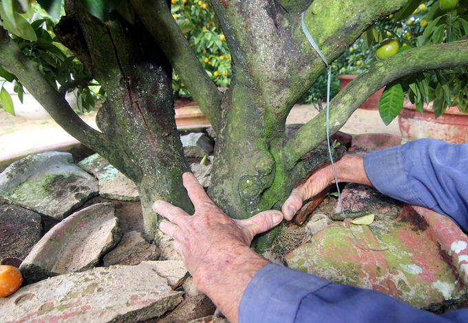 Người sở hữu gần 100 cây quất cổ thụ giá tiền tỷ