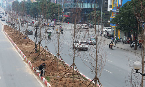 Tranh cãi việc trồng phong lá đỏ ở đường phố Hà Nội