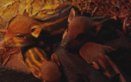Nông dân trẻ đầu tư tiền tỷ nuôi lợn rừng hữu cơ