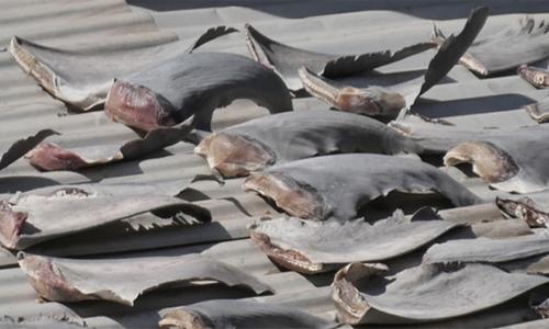 Vây cá mập tại Đại sứ quán Việt Nam ở Chile được mua ở chợ