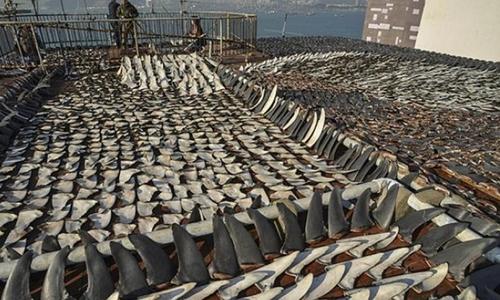 Nạn săn bắt cá mập lấy vây trên thế giới