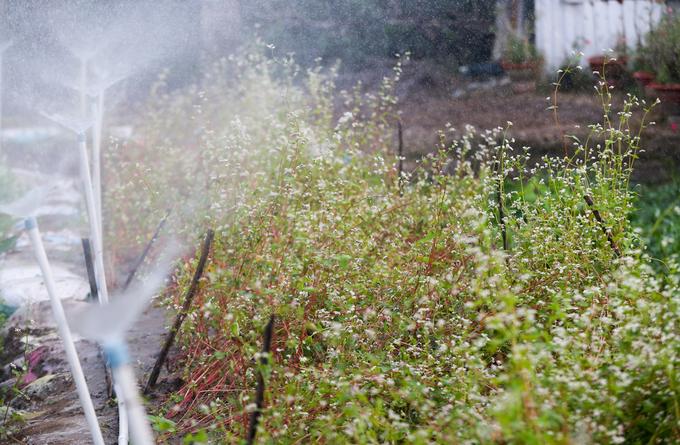 Vườn hoa tam giác mạch khoe sắc ở ngoại thành Sài Gòn