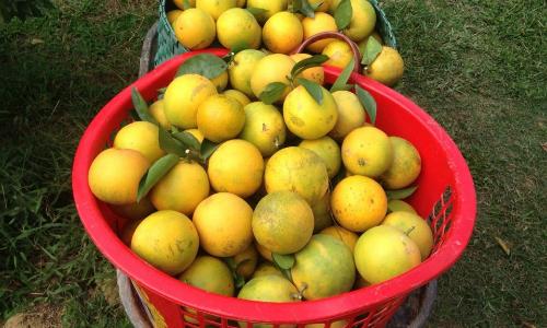 1.000 gốc cam sai quả nhờ tưới nước cá ngâm