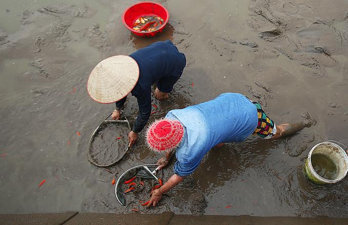 Làng cá chép hối hả thu hoạch trước Tết ông Công ông Táo