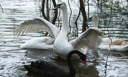 Thiên nga ở hồ Gươm được bắt đi trong đêm