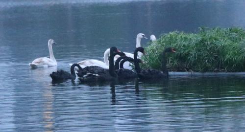 Thiên nga ở Hồ Gươm được chuyển đi trong đêm