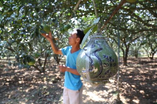 Bưởi tạo hình bản đồ Việt Nam được nhiều khách hàng yêu chuộng trong mùa tết năm nay. Ảnh: Phước Tuấn