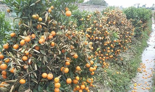Ông Liêm phun hoá chất cực mạnh khiến hàng trăm cây quất của hàng xóm chết khô. Ảnh: Lam Sơn.