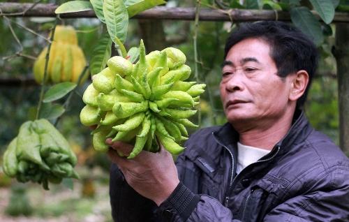 Trồng phật thủ hiệu quả kinh tế hơn trồng lúa hay hoa màu. Ảnh: Nguyễn Nga