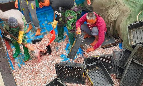 Ngư dân Hà Tĩnh trúng đậm 200 tấn cá cơm