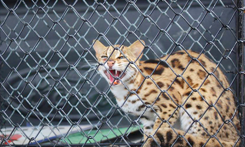 Người dân Hà Tĩnh bắt được mèo rừng quý hiếm