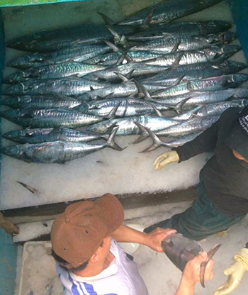 Ngư dân Hà Tĩnh trúng đậm mẻ cá thu