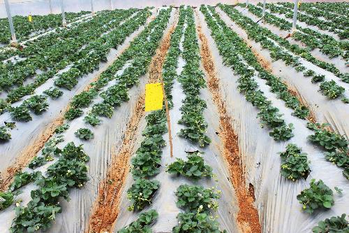 Những luống dâu tây trải dài