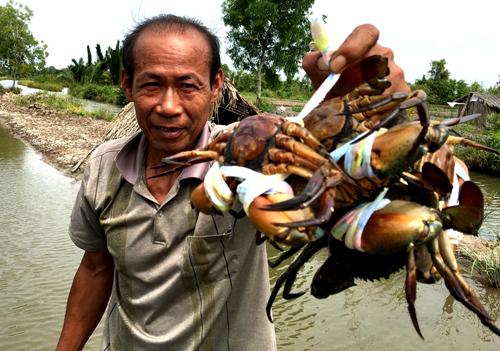 Nhiều nông dân nuôi cua biển ở Cà Mau phấn khởi vì giá cua tăng mạnh trong những ngày Tết. Ảnh: Phúc Hưng.