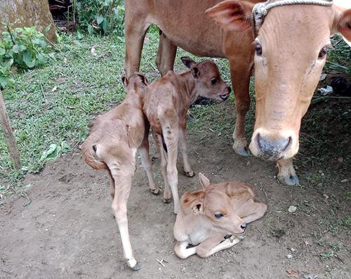 Bò mẹ sinh ba con bê hiếm gặp ở Quảng Nam thu hút người đến xem