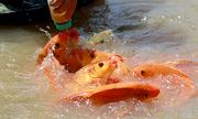 Hơn 1.000 con cá chép tranh nhau bú bình ở Khánh Hòa