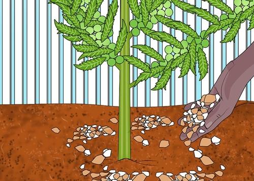 Rắc vỏ trứng xung quan gốc cây là cách đơn giản, tiết kiệm để cung cấp canxi cho đất.