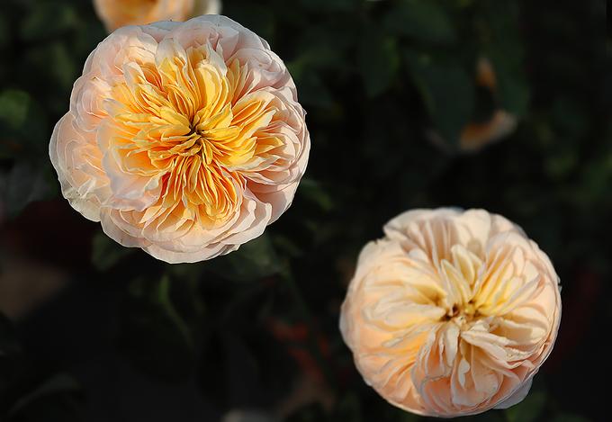 Hàng nghìn giống hoa hội tụ tại Lễ hội hoa hồng Bulgaria