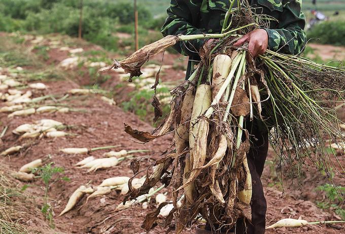Nông dân vứt bỏ hàng nghìn tấn củ cải vì khó tiêu thụ