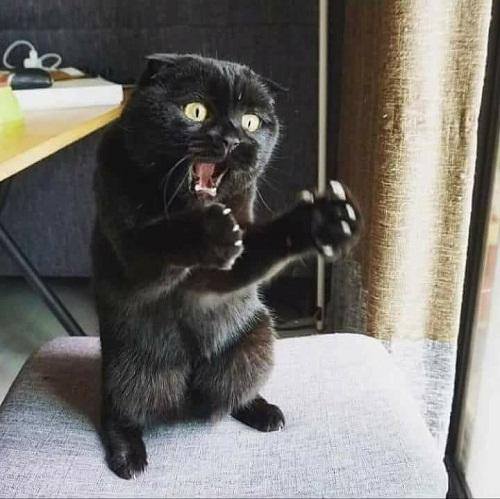 Mèo nói: Tôi mới vừa gặp con chuột to chừng này này!.