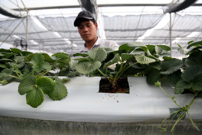 Vườn dâu cho trái hình cánh bướm, trái tim ở Lâm Đồng