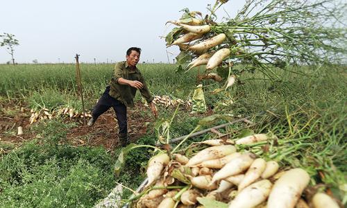 """Hà Nội họp """"giải cứu"""" cả nghìn tấn củ cải ế"""