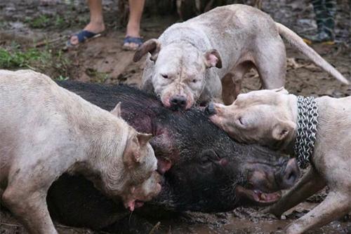 Chuyên gia lên án thú vui cho chó săn cắn chết lợn ở Hà Nội