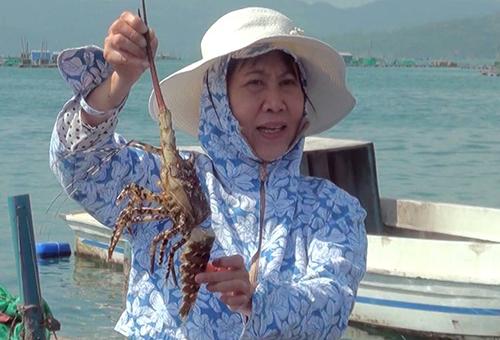 Người dân lo lắng khi tôm hùm nuôi trên vịnh Xuân Đài chết hàng loạt. Ảnh: An Phước